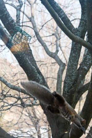 grey squirrel jumps from suet feeder