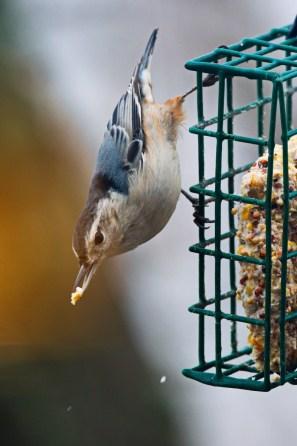 Nuthatch on a suet feeder