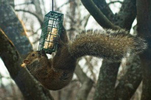squirrel hanging precariously from a suet feeder
