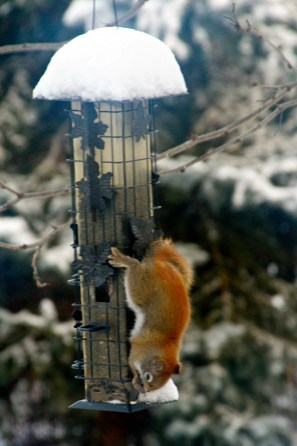 Local red squirrel after heavy snow
