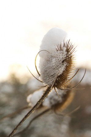 Snow-capped teasel